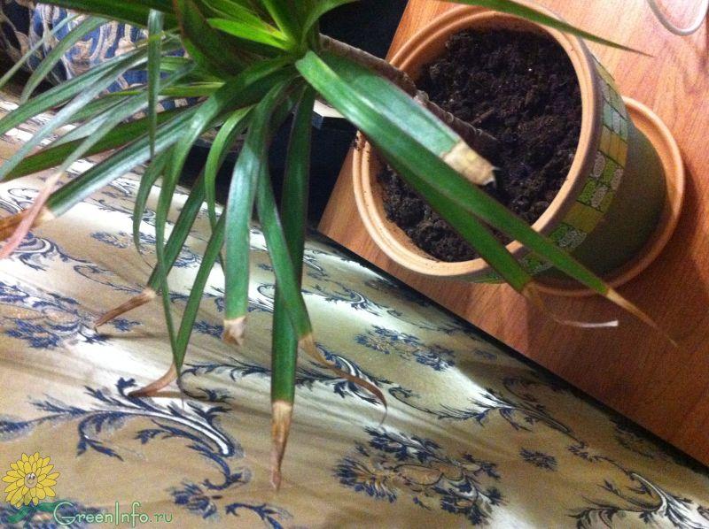 Почему желтеют кончики листьев у драцены