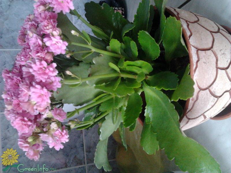 Цветок каланхоэ - уход и размножение Все о цветах