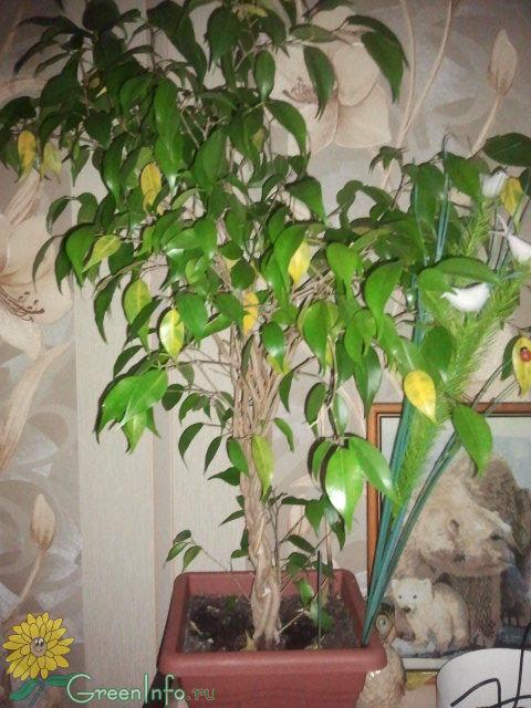 Почему и фикуса желтеют и опадают листья что делать видео