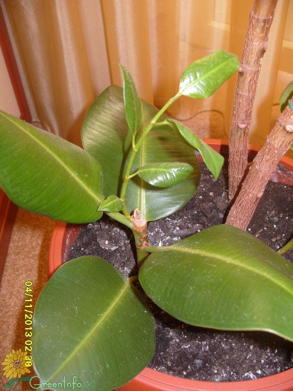 фикус желтеют листья уход в домашних условиях фото