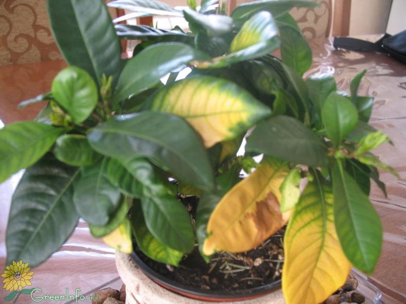Почему желтеют листья у гардении жасминовидной