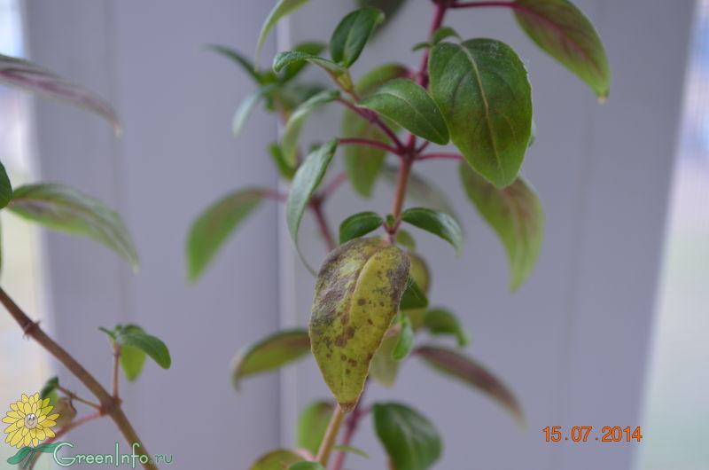Почему у фуксии опадают и желтеют листья
