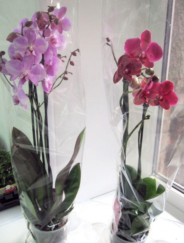 Орхидея-бабочка уход в домашних условиях