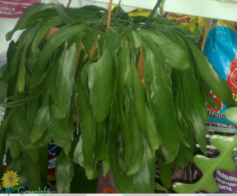 Рипсалис лесной кактус  купить в Краснодаре цена 50 руб