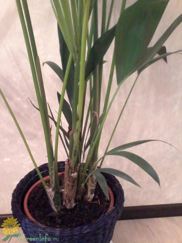 Пальма домашняя сохнут листья уход в домашних условиях 728
