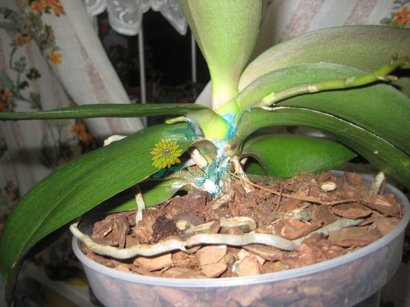Мокрая гниль на молодом листе фаленопсиса