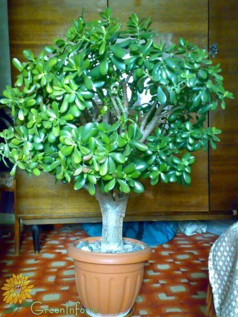 446Как вырастить денежное дерево с толстым стволом пошагово в