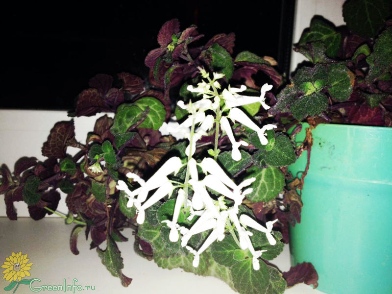 Плектрантус  Plectranthus фото условия выращивания
