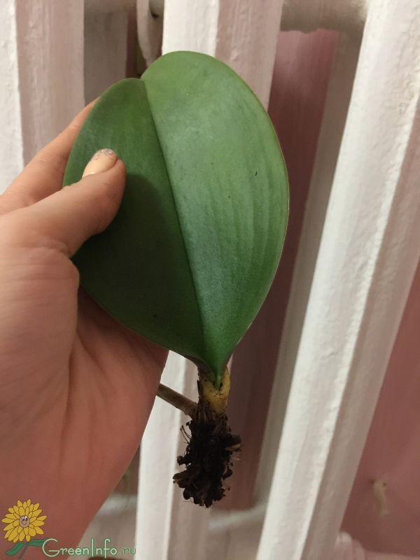 Почему вянут быстро цветы у орхидеи