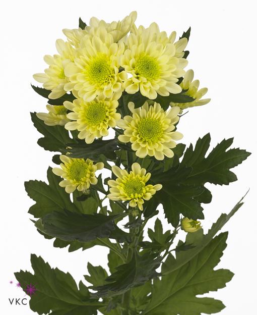 Хризантема из крема видео