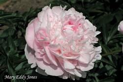 Пион садовый (Mary Eddy Jones) .