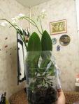 Тепличка для орхидеи фаленопсис своими руками