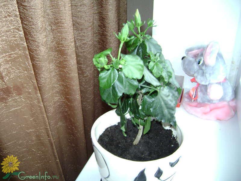 Как вырастить каркаде в домашних условиях из семян