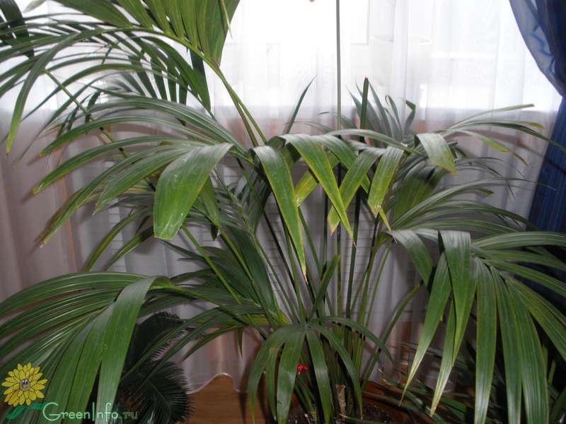 Пальма домашняя сохнут листья уход в домашних условиях 66
