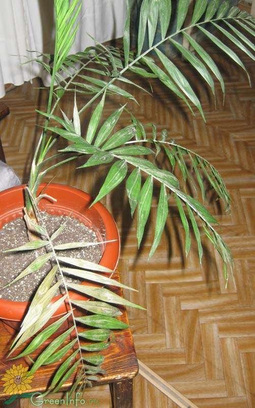 Пальма домашняя сохнут листья уход в домашних условиях 148