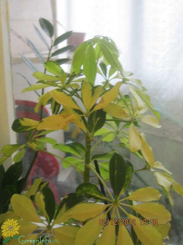 Уход за шефлерой в домашних условиях опадают листья