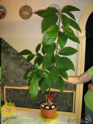 Форум декоративные деревья и и