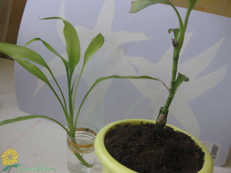Размножение бамбука в домашних условиях фото