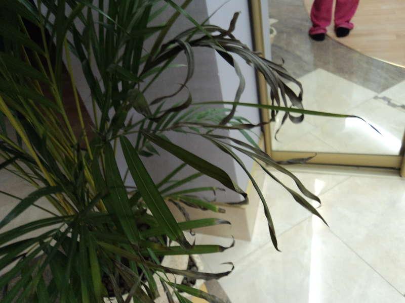 Хлорофитум ломаются листья что делать