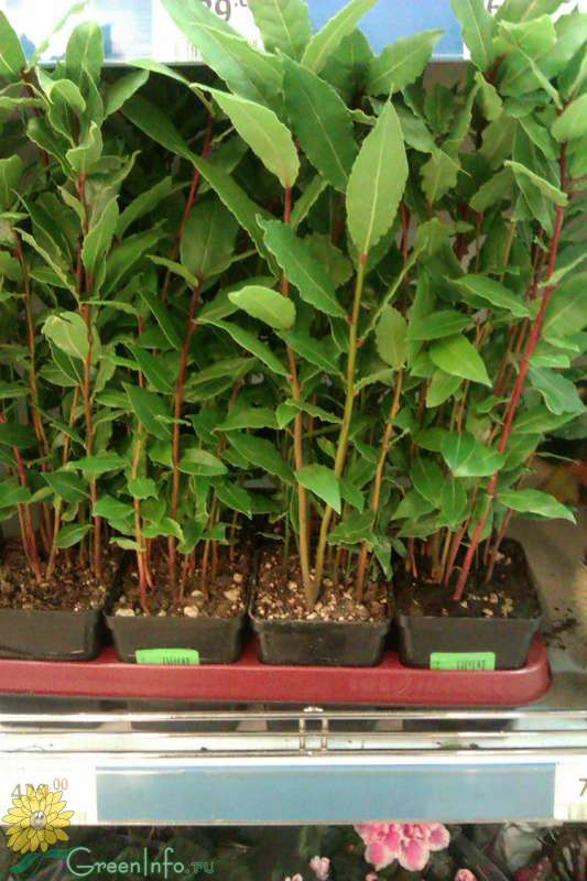 Калибрахоа: выращивание, уход, посадка в саду, фото