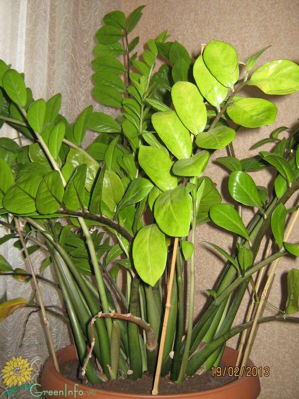 Замиокулькас почему желтеют листья и стебель