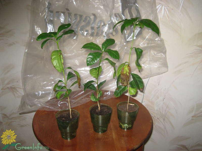 Посадить кофейное дерево в домашних условиях