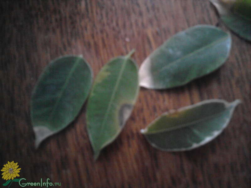 Фикус бенджамина сбрасывает листву почему