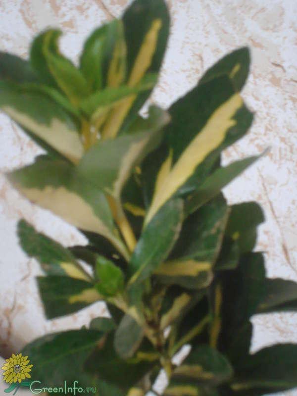 Пестрый комнатный цветок название