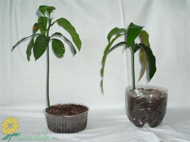 Как вырастить мангустин из косточки в домашних условиях пошагово