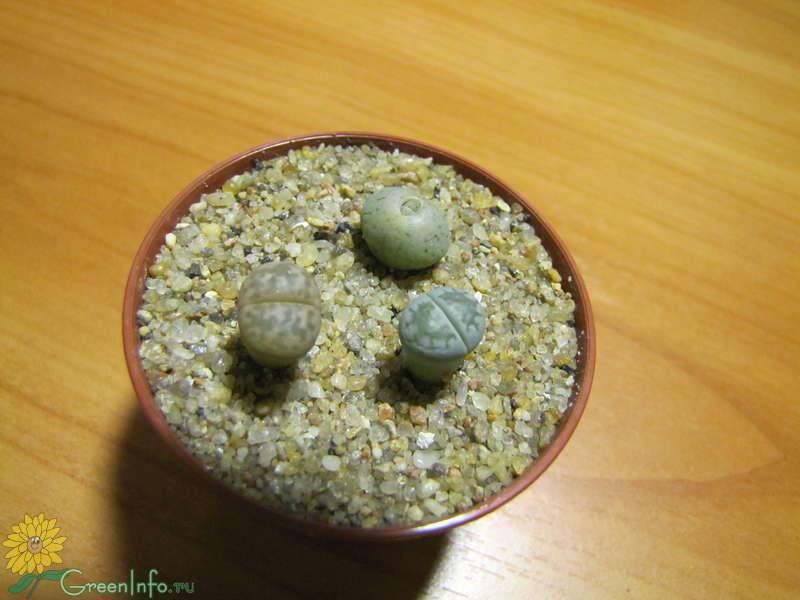 Выращивание литопсов в домашних условиях