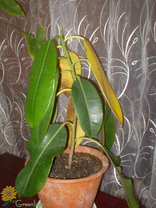 У фикуса опадают нижние листья почему