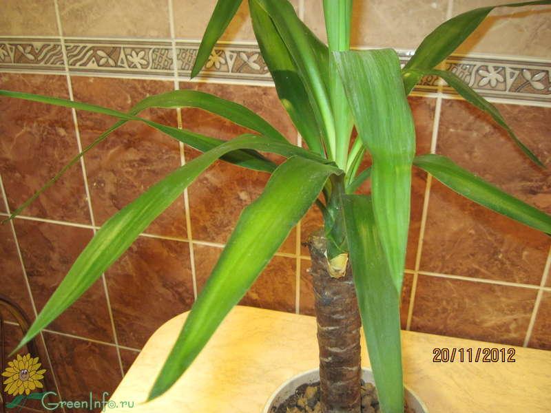 Пальма домашняя сохнут листья уход в домашних условиях 537