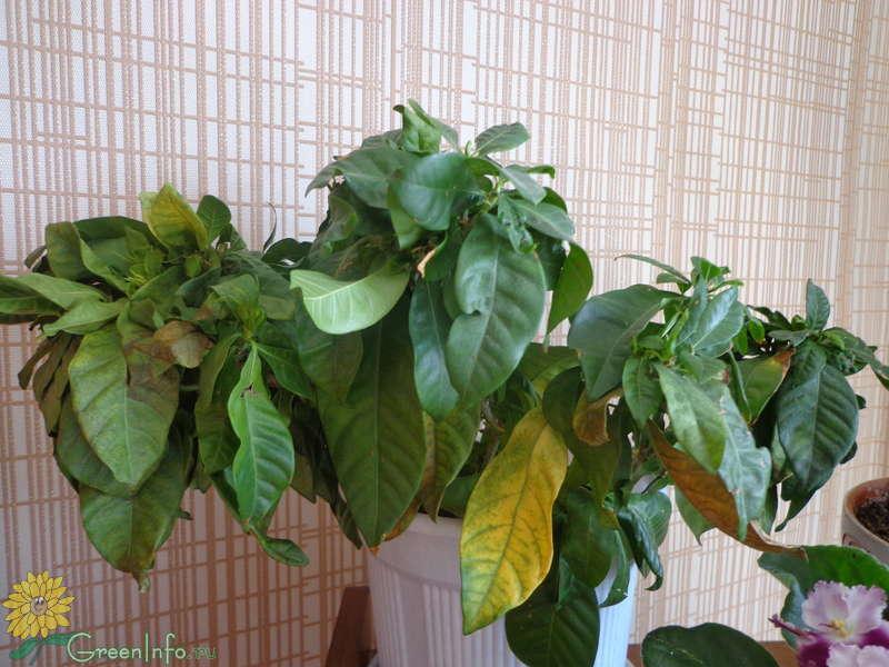 Почему у гардении жасминовидной сохнут листья