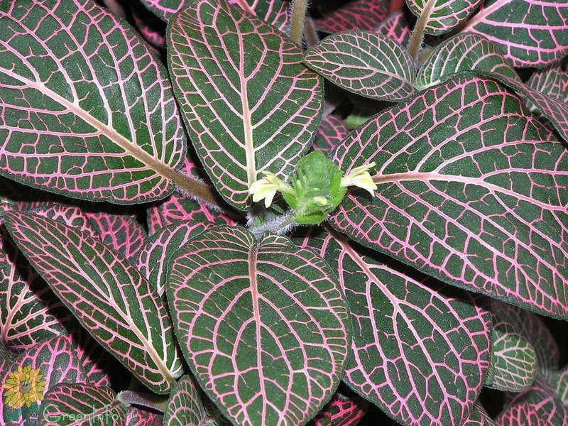 фиттония микс цветение