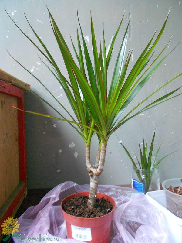 Пальмы и драцены в домашних условиях 114