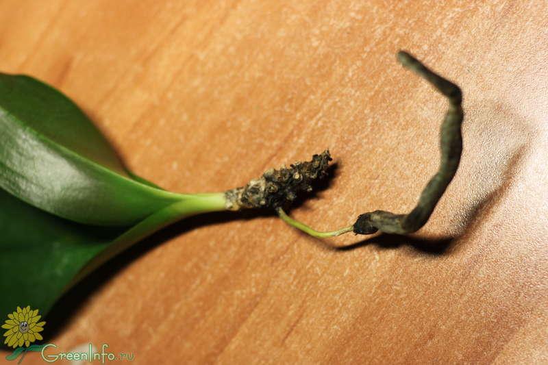 Размножение фаленопсиса - Форум - Фаленопсис гибридный - Фаленопсис - Орхидеи - Комнатные растения - GreenInfo.ru