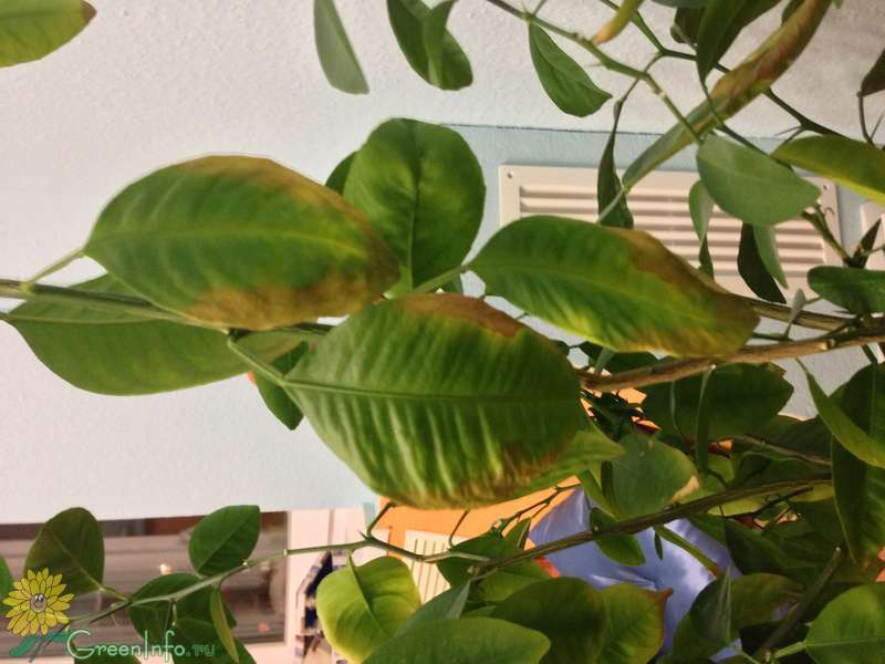 Почему у цитрусовых листья опадают