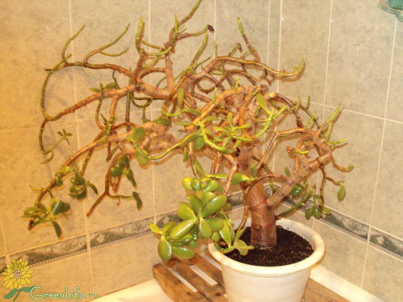 Почему осыпаются листья у денежного дерева зимой