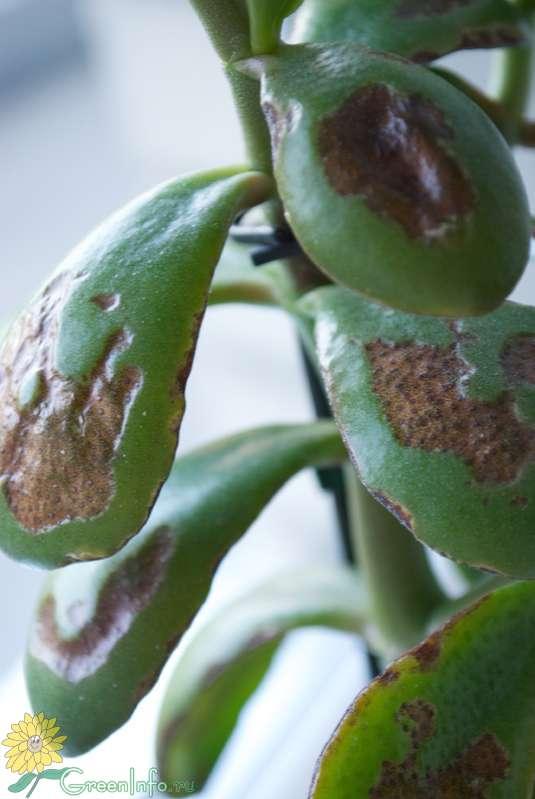 Толстянка уход в домашних условиях опадают листья