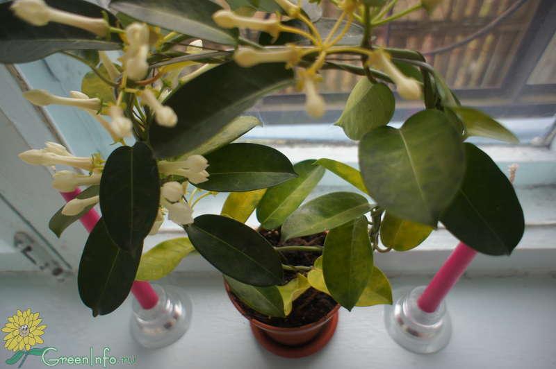 Что делать если у комнатного жасмина желтеют листья