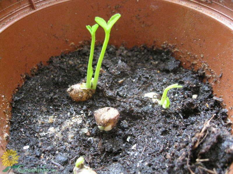 Как прорастить семена мандарина в домашних условиях из косточки