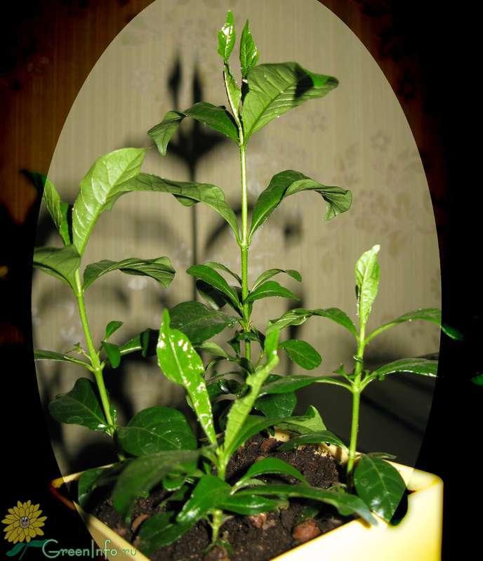 Гардения выращивание в домашних условиях из семян
