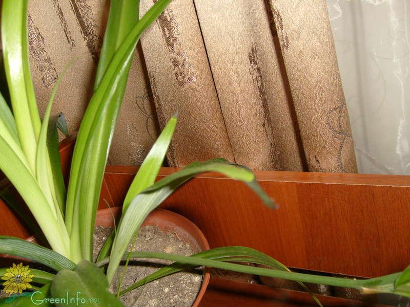Почему чернеют листья у хлорофитума