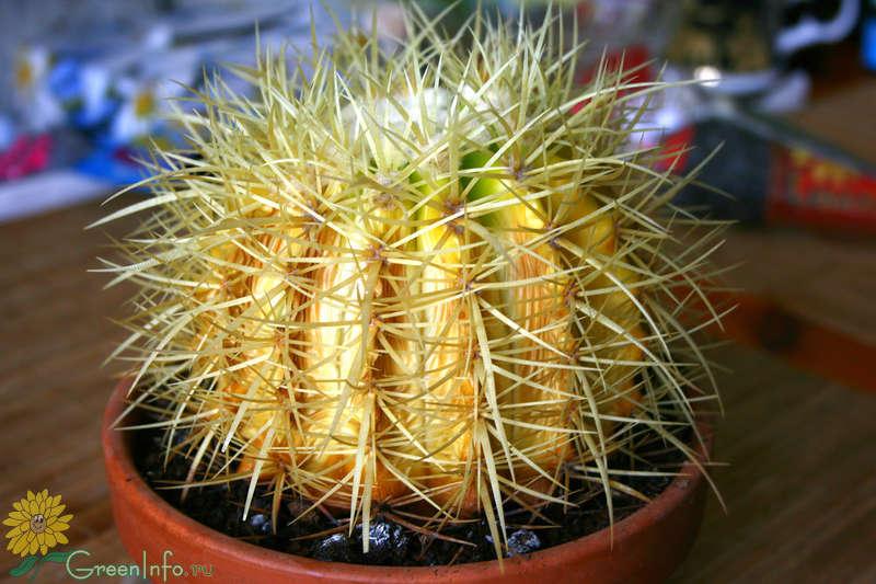 кактус грузони