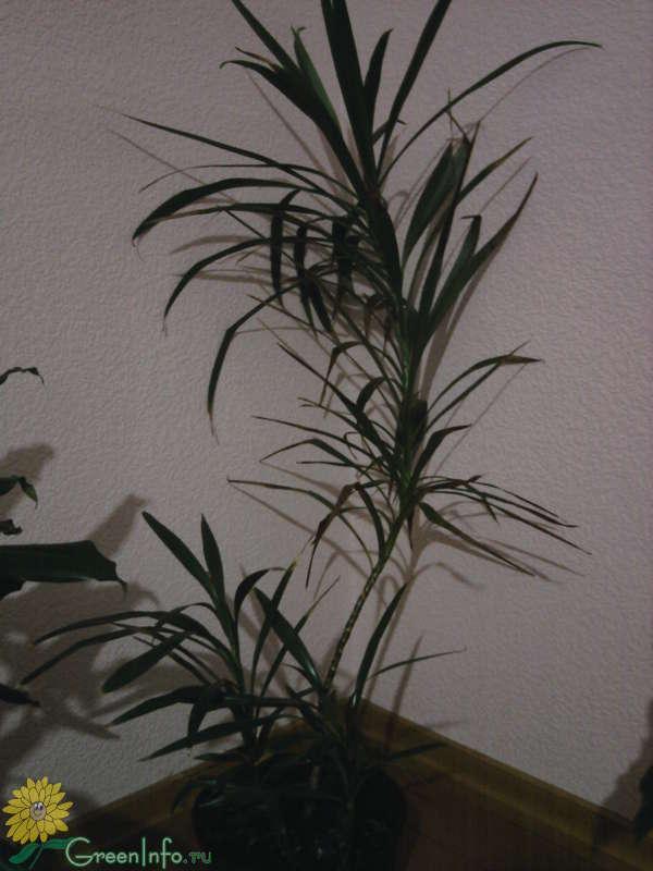 Растение похожее