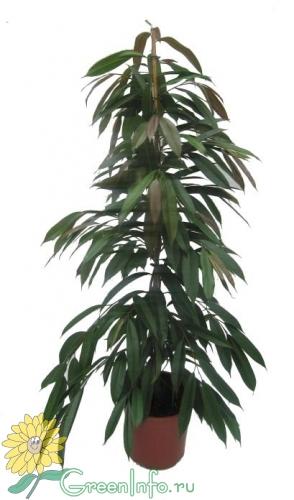 Купить комнатное растение - Фикус Реджинальд - домашние горшечные.