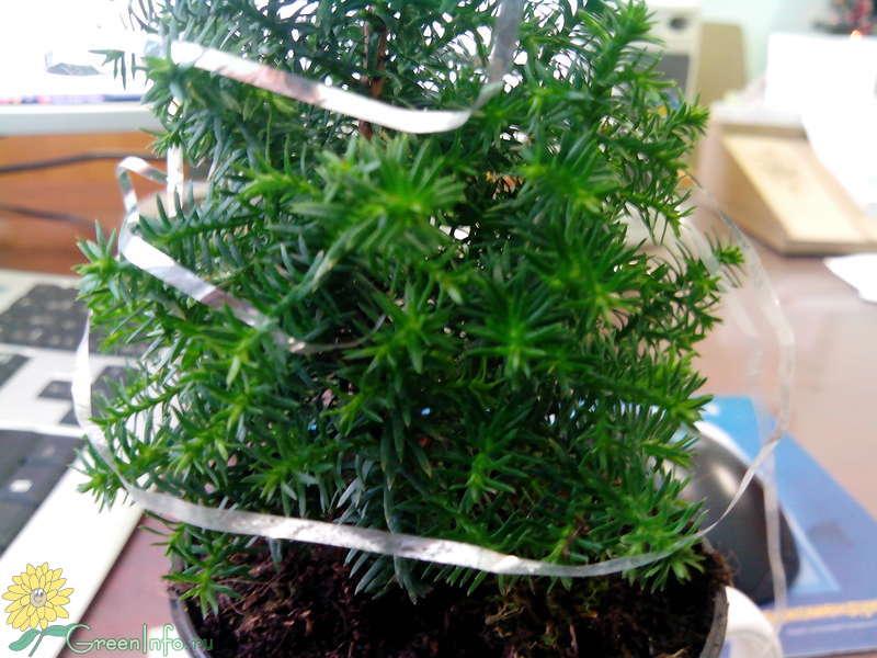 Выращивание ели Коника Picea в домашних условиях