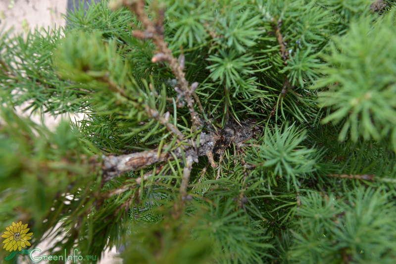 Picea в домашних условиях