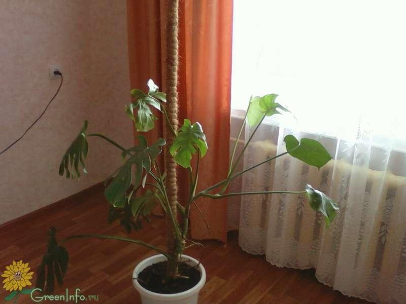 Почему маленькие листья у монстеры