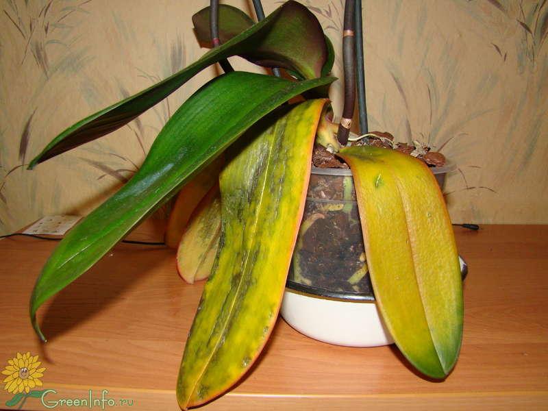 Что делать если листы орхидеи желтеют